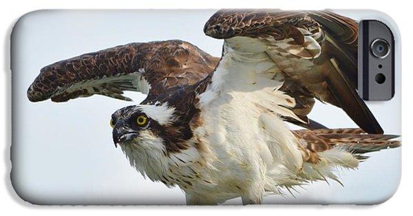 Sea Birds iPhone Cases - Osprey Catch iPhone Case by Carol McGunagle