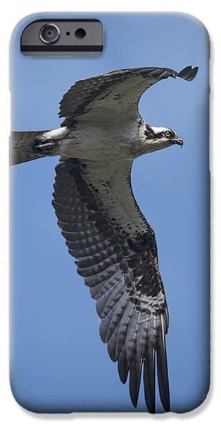 Sea iPhone Cases - Osprey in Flight iPhone Case by Priscilla Burgers