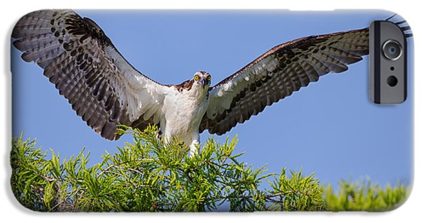 Animal Photographs iPhone Cases - Osprey with Wide-Open Wings iPhone Case by Andres Leon