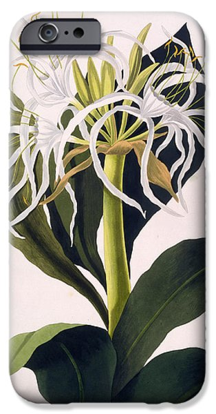 Botanical Drawings iPhone Cases - Pancratium Speciosum iPhone Case by Mrs Edward Bury