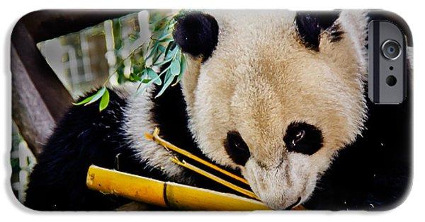 Haybale iPhone Cases - Panda Bear iPhone Case by Robert Bales