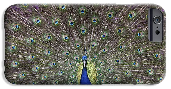 Peafowl iPhone Cases - Peacock Display iPhone Case by Tim Gainey
