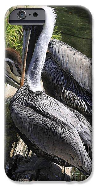 Pelican Duo iPhone Case by Deborah Benoit