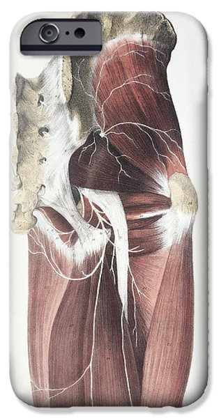 Sacral Plexus iPhone Cases - Pelvic Spinal Nerves iPhone Case by Sheila Terry