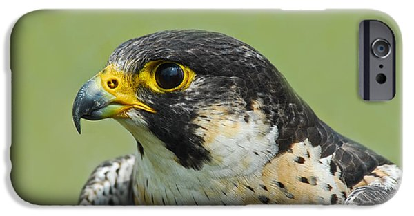 Nature Study iPhone Cases - Peregrine Falcon iPhone Case by Timothy Flanigan