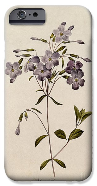 Plant Drawings iPhone Cases - Phlox reptans iPhone Case by Pierre Joseph Redoute