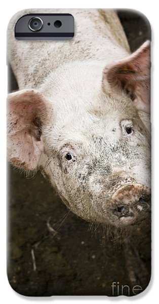 Dirty iPhone Cases - Pig life iPhone Case by Dan Radi