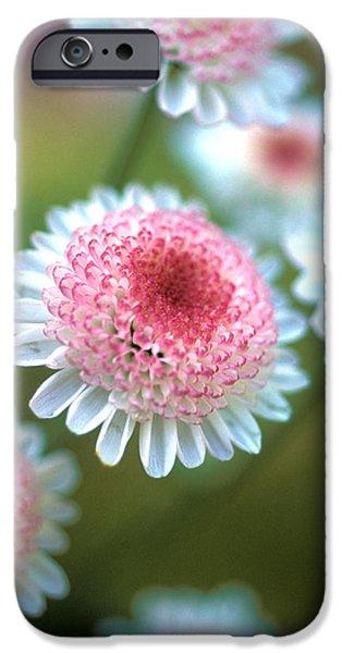 Pincushion Flowers iPhone Case by Kathy Yates
