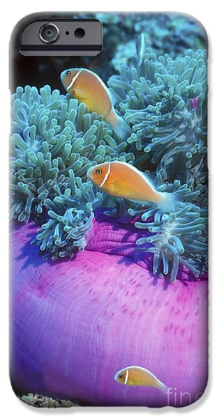Undersea Photography iPhone Cases - Pink Anemonefish Protect Their Purple iPhone Case by Michael Wood