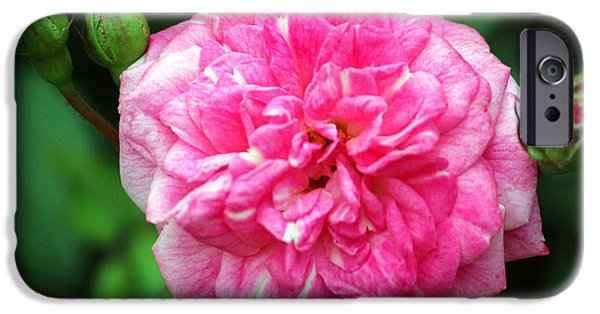 Innocence iPhone Cases - Pink Delight iPhone Case by Cynthia Guinn