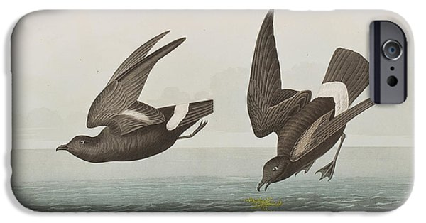 Audubon iPhone Cases - Plate 340 Least Stormy-Petrel iPhone Case by John James Audubon