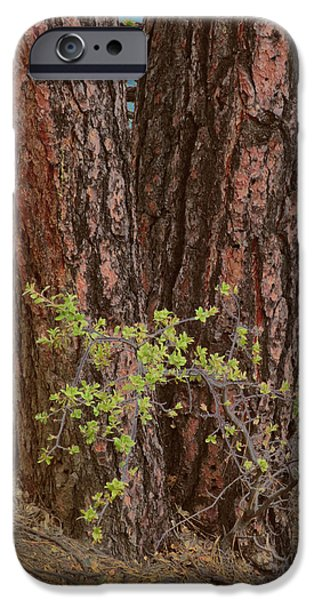 Prescott iPhone Cases - Ponderosa Pines Side By Side iPhone Case by Muriel Levison Goodwin
