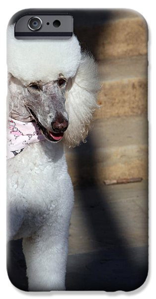 Cora Wandel iPhone Cases - Poodle Alert iPhone Case by Cora Wandel