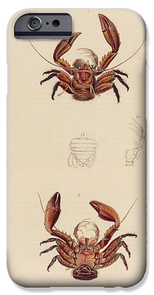 Zoology Paintings iPhone Cases - Porcellana coccinea iPhone Case by MotionAge Designs