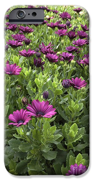 Recently Sold -  - Prescott iPhone Cases - Prescott Park - Portsmouth New Hampshire Osteospermum Flowers iPhone Case by Erin Paul Donovan