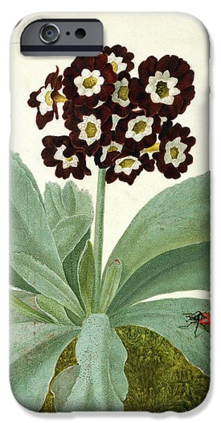 Flora Drawings iPhone Cases - Primula Auricula with Butterfly and Beetle iPhone Case by Matilda Conyers