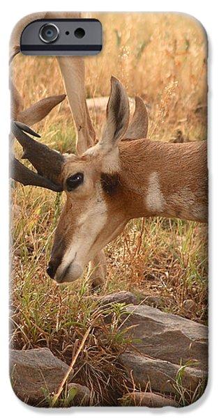 Pronghorn Antelope Bucks Locking Horns iPhone Case by Max Allen