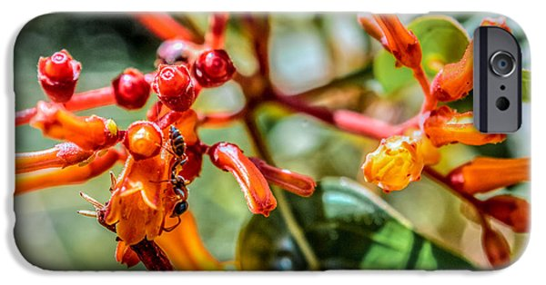 Fauna iPhone Cases - Pseudomyrmex gracilis on Hamelia patens iPhone Case by Rob Sellers