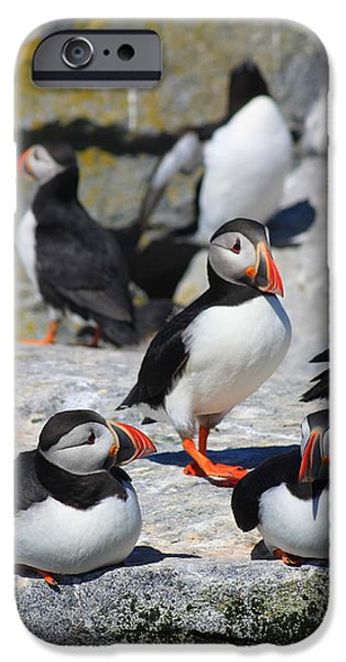 Razorbill iPhone Cases - Puffins at Rest iPhone Case by John Burk