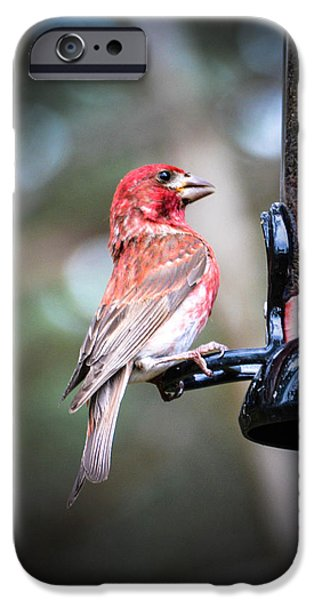 Wild Animals iPhone Cases - Purple Finch iPhone Case by Lisa Kilby