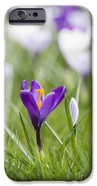 Crocus iPhone Cases - Purple Glory iPhone Case by Tim Gainey
