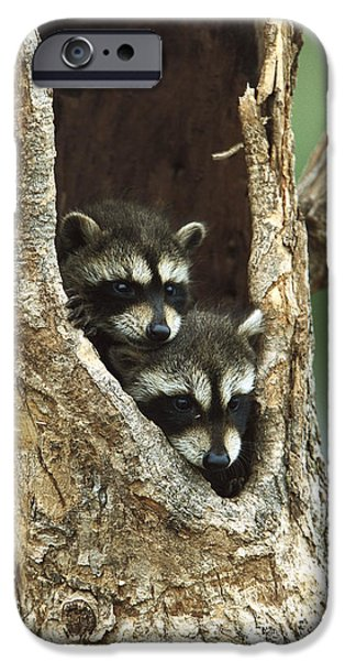 Cute Tree Images iPhone Cases - Raccoon Procyon Lotor Two Babies iPhone Case by Konrad Wothe