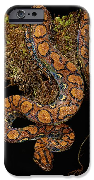 Boa Constrictor iPhone Cases - Rainbow Boa Epicrates Cenchria Cenchria iPhone Case by Pete Oxford