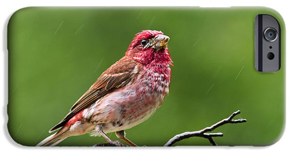 Finch iPhone Cases - Rainy Day Bird - Purple Finch iPhone Case by Christina Rollo