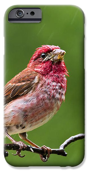 Rainy Day Bird - Purple Finch iPhone Case by Christina Rollo