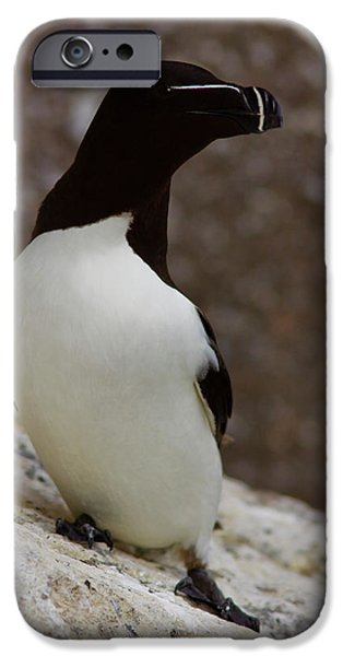 Razorbill Alca torda  iPhone Case by Gabor Pozsgai