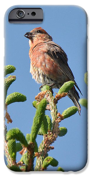 Crossbill iPhone Cases - Red Crossbill iPhone Case by Alan Lenk