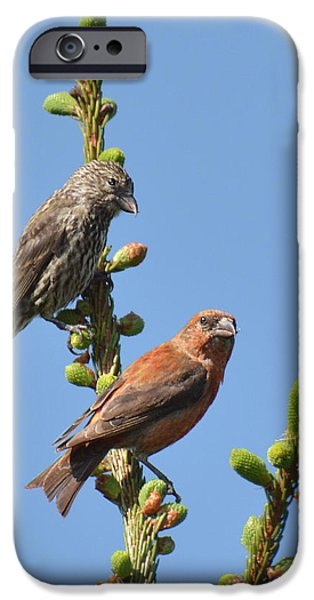 Crossbill iPhone Cases - Red Crossbill Pair iPhone Case by Alan Lenk