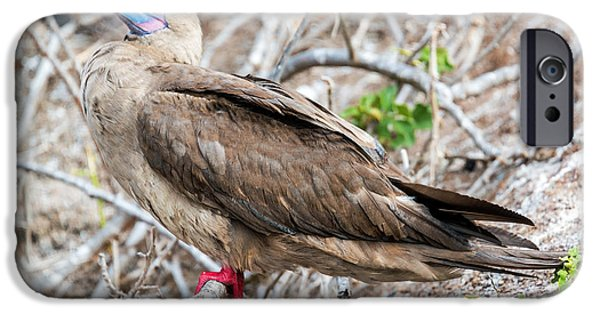 Boobies iPhone Cases - Red Footed Booby iPhone Case by Jess Kraft