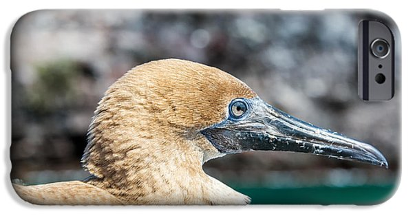 Boobies iPhone Cases - Red Footed Booby Juvenile iPhone Case by Jess Kraft