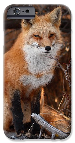 Red Fox iPhone Cases - Red Fox Pausing Atop Log iPhone Case by Max Allen