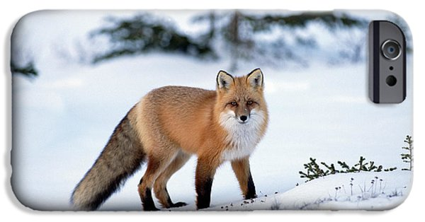 Carnivore iPhone Cases - Red Fox Vulpes Vulpes Portrait iPhone Case by Konrad Wothe