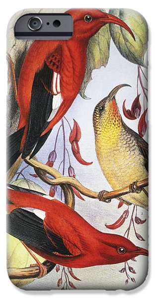 Printscapes - iPhone Cases - Red Hawaiian Honeycreeper iPhone Case by Hawaiian Legacy Archive - Printscapes