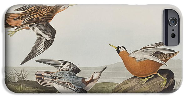 Red Drawings iPhone Cases - Red Phalarope iPhone Case by John James Audubon