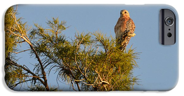 Pines iPhone Cases - Red Shouldered Hawk iPhone Case by Sabrina Raymond