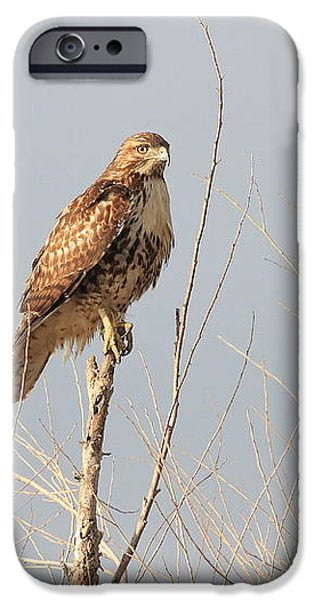 Red Tailed Hawk 20100101-5 iPhone Case by Wingsdomain Art and Photography