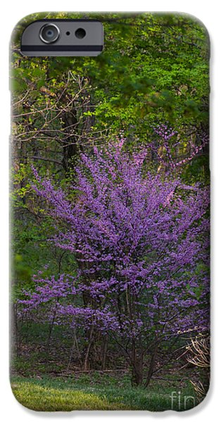 Southern Indiana iPhone Cases - Redbud at Home iPhone Case by Lowell Anderson