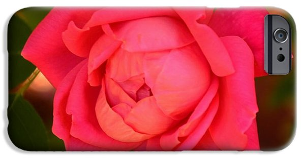 Interior Scene iPhone Cases - Reddish Pink Rose - Square Print iPhone Case by Bob Sample