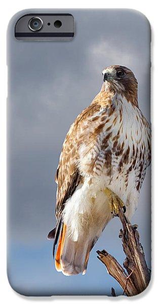Bird In Flight iPhone Cases - Redtail Portrait iPhone Case by Bill  Wakeley