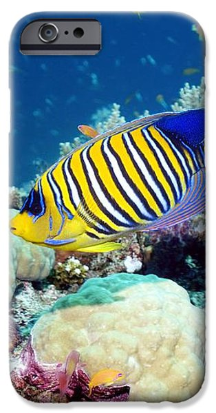 Regal Angelfish iPhone Case by Georgette Douwma