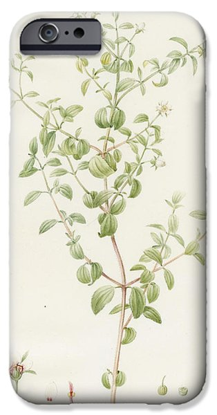 Flora Drawings iPhone Cases - Rhexia Glandulosa iPhone Case by Pierre Joseph Redoute