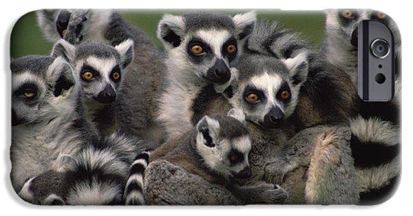 Vertebrata iPhone Cases - Ring-tailed Lemur Lemur Catta Group iPhone Case by Gerry Ellis