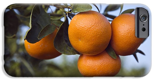 Agricultural iPhone Cases - Ripe Mandarins iPhone Case by Inga Spence