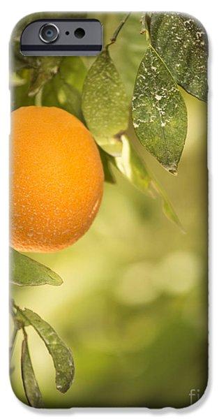 Tropical Plant iPhone Cases - Ripe Orange iPhone Case by Juli Scalzi