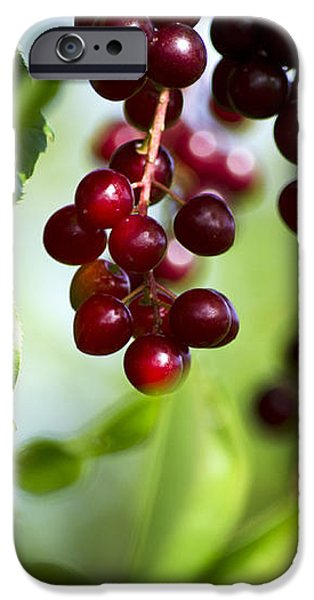 Ripe Red Cherries Jubilee iPhone Case by Christina Rollo