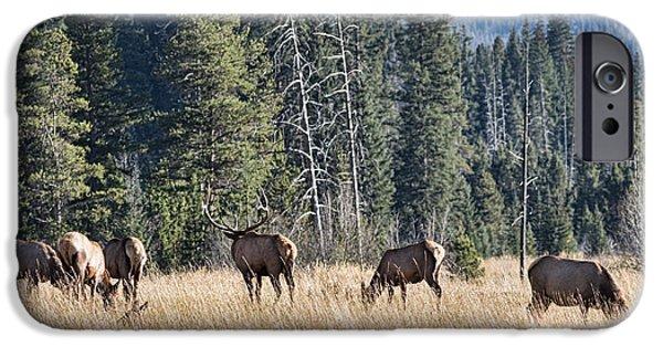 Meadow Photographs iPhone Cases - Rocky Mountain Elk Herd iPhone Case by Bill Kesler